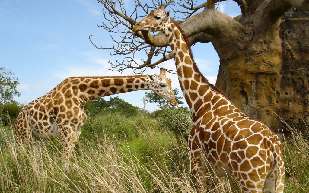 Papel de parede Casal de Girafas para download gratuito. Use no computador pc, mac, macbook, celular, smartphone, iPhone, onde quiser!