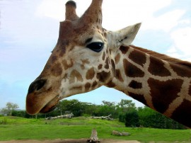 Papel de parede Cara de Girafa