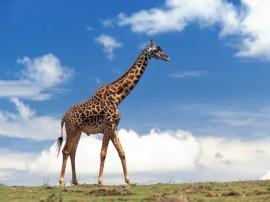 Papel de parede Girafa na Planície