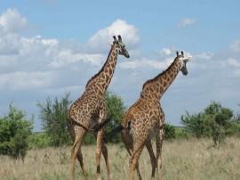 Papel de parede Girafas Passeando