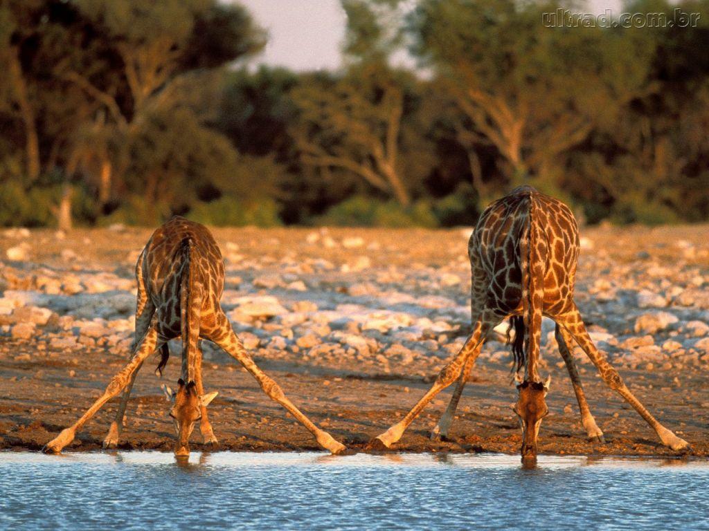 Papel de parede Girafas Bebendo Água para download gratuito. Use no computador pc, mac, macbook, celular, smartphone, iPhone, onde quiser!