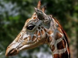Papel de parede O Olhar da Girafa