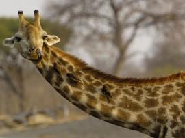 Papel de parede Girafa De Língua de Fora