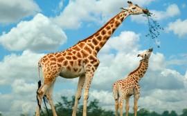 Papel de parede Girafa e Seu Filhote
