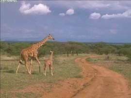 Papel de parede Girafas na Estrada