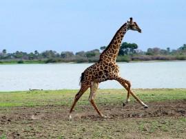Papel de parede Girafa Correndo