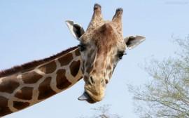 Papel de parede Girafa Mostrando a Língua