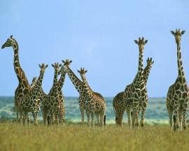 Papel de parede Bando de Girafas