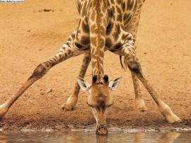 Papel de parede Girafa Bebendo Água