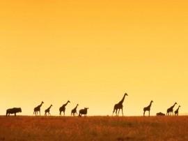 Papel de parede Girafas ao Entardecer