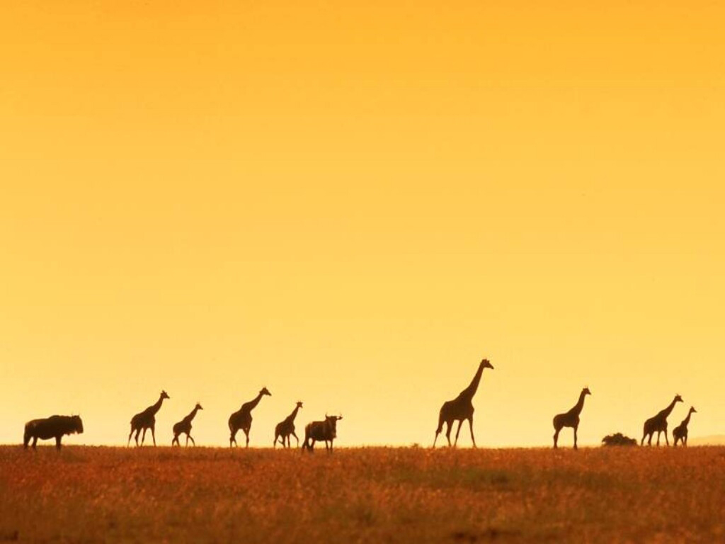 Papel de parede Girafas ao Entardecer para download gratuito. Use no computador pc, mac, macbook, celular, smartphone, iPhone, onde quiser!