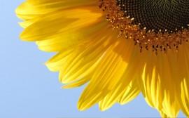 Papel de parede Girassol – Flor