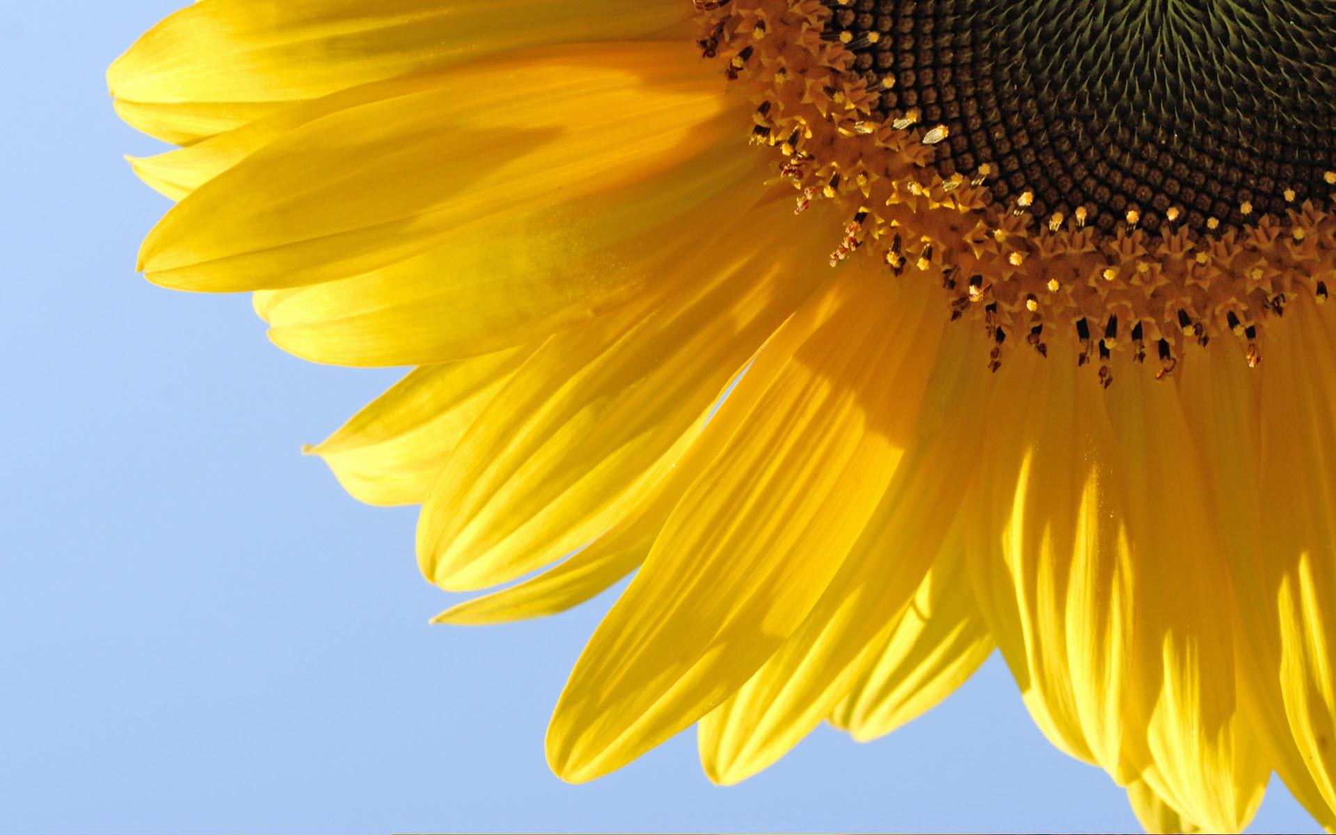 Papel de parede girassol flor wallpaper para download no for Papel de pared paisajes
