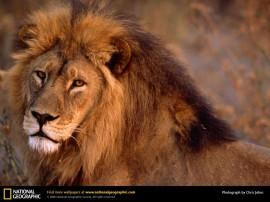 Papel de parede Leão – Solitário