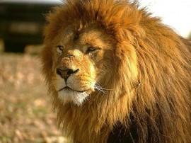 Papel de parede Leão – Forte