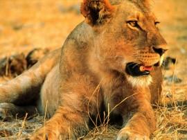Papel de parede Leão – Leoa da Savana