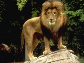 Papel de parede Leão – Rei da Selva