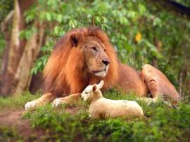 Papel de parede Leão – e o Cordeiro