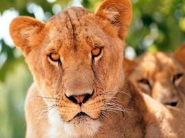 Papel de parede Leão – Animal