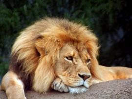Papel de parede Leão – Cansado