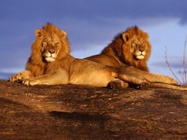Papel de parede Leão – Dois