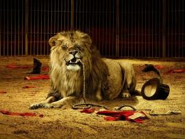 Papel de parede Leão – Humor