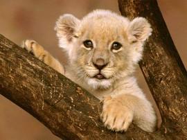Papel de parede Leão – Filhote