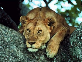Papel de parede Leão – Leoa Cansada