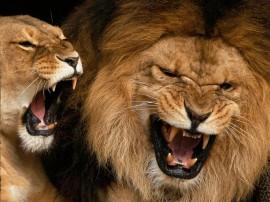 Papel de parede Leão – Rugindo