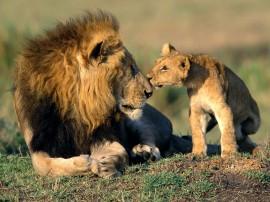 Papel de parede Leão – Pai e Filho