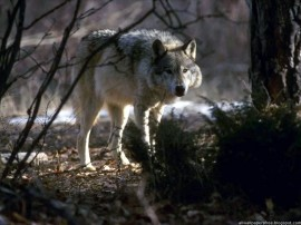 Papel de parede Lobo da Floresta