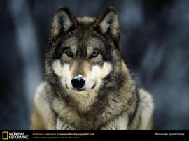 Papel de parede Lobo Selvagem