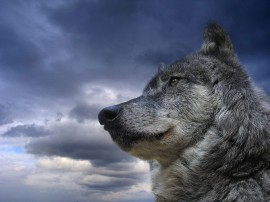 Papel de parede Lobo Austero