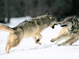 Papel de parede Briga de Lobos