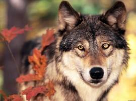 Papel de parede Lobo no Outono