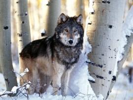Papel de parede Lobo no Inverno