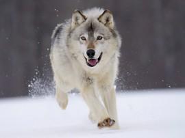 Papel de parede Lobo Correndo