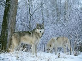 Papel de parede Casal de Lobos