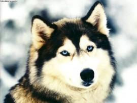 Papel de parede Lobo de Olhos Azuis