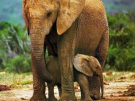 Papel de parede Mãe Bicho – Elefanta