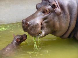 Papel de parede Mãe Bicho – Hipopótamo