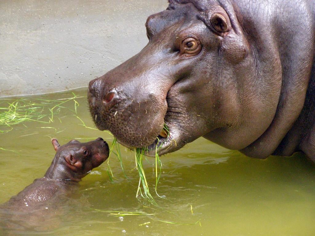Papel de parede Mãe Bicho – Hipopótamo para download gratuito. Use no computador pc, mac, macbook, celular, smartphone, iPhone, onde quiser!