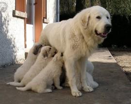 Papel de parede Mãe Bicho – Cadela e Seus Filhotes