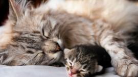 Papel de parede Mãe Bicho – Gata e Seu Bebê