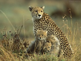 Papel de parede Mãe Bicho – Cheetah