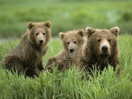 Papel de parede Mãe Bicho – Ursa Parda