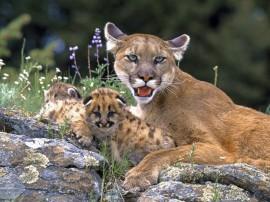 Papel de parede Mãe Bicho – Puma