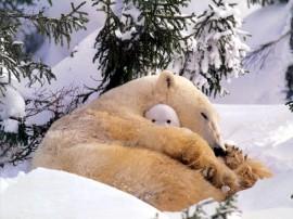 Papel de parede Mãe Bicho – Ursa