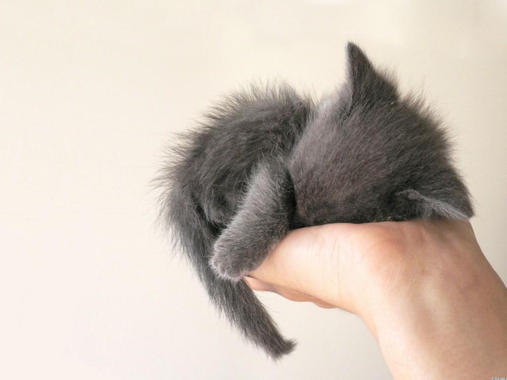 Papel de parede Filhote de Gato na Mão para download gratuito. Use no computador pc, mac, macbook, celular, smartphone, iPhone, onde quiser!