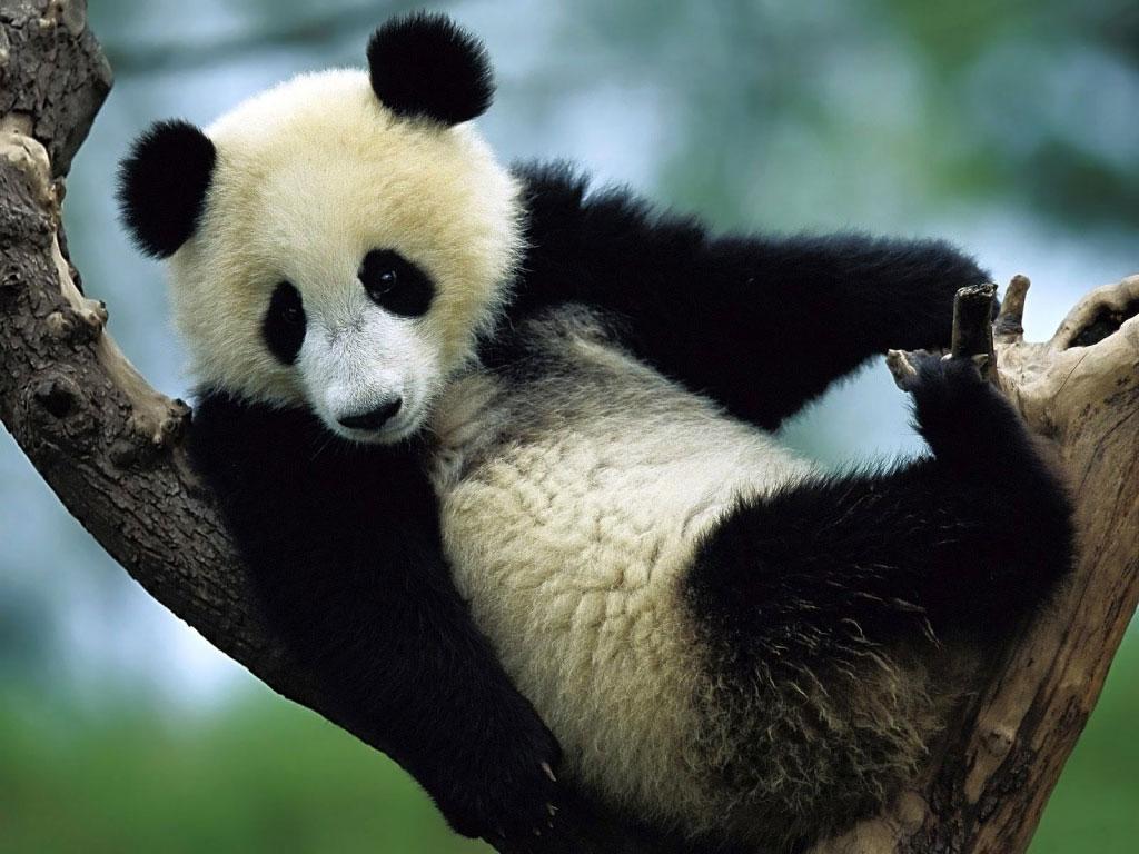 Papel de parede Panda na Árvore para download gratuito. Use no computador pc, mac, macbook, celular, smartphone, iPhone, onde quiser!